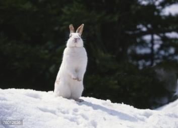new_hokkaido_rabbit